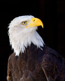 American Eagle. A portrait of an American Eagle in a Wild park in Germany Stock Photo