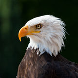 American eagle Royalty Free Stock Image