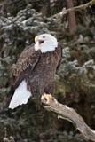 American Eagle Stock Photos