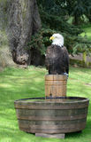American eagle. American bald eagle sat on timber stump Stock Images