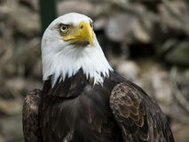 American Eagle. Used also as symbol for the united states of america royalty free stock images