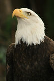 American eagle 3. Bald eagle watching something up above stock photos