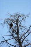 American Eagle Imagen de archivo