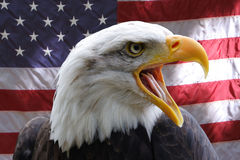 American Eagle. A Bald eagle against the backdrop of an American flag royalty free stock photos