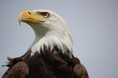 American Eagle. During a bird workshop we were able to portrait several birds of prey. The weather wasn't that creat but a slight ray of sun lit the eye and the Stock Images