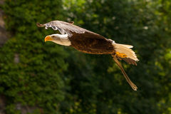 American eagle. Bald eagle bred in captivity Stock Images