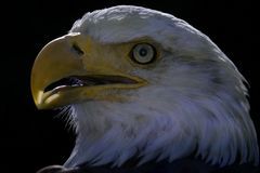 American Eagle 4. Yes, this is THAT eagle: the famous american national symbol Stock Photos