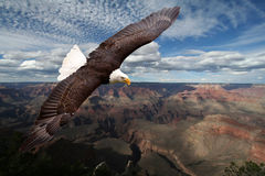 American eagle. Against Grand Canyon Stock Images