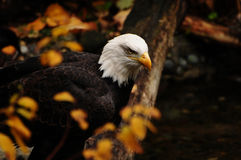 American eagle in autumn Royalty Free Stock Photography