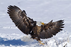 American Eagle Stock Images
