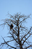 American eagle. Bald eagle, symbol of USA, in its natural habitat over Snake River, Whyoming Stock Image