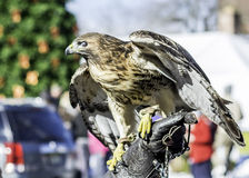 American eagle bird observes visitors. Stock Images