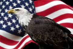 American eagle. Close-up of a bald eagle with an American flag in the background Stock Photos