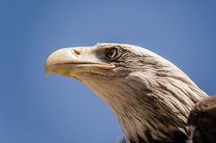 American eagle face expression. Close up bottom view stock photo