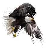 American eagle flying watercolor drawing Royalty Free Stock Photo