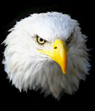 American eagle. Head on black background Royalty Free Stock Image