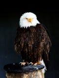 American Eagle [leucocephalus del Haliaeetus] Foto de archivo