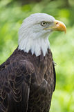 American Eagle Profile Royalty Free Stock Photos