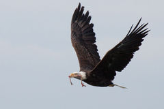 American Eagle. With the remains of a smaller bird in its beak. Not much meat left on these bones Stock Image