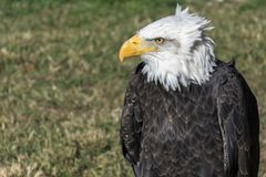 American Eagle stock image