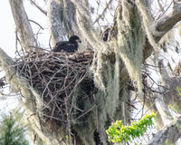 The American Eaglet Royalty Free Stock Photo