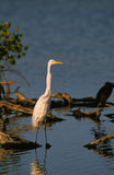 American Egret Royalty Free Stock Photography