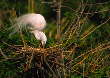 American Egret on Nest Royalty Free Stock Photos