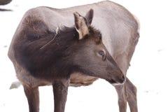 American elk Stock Photos