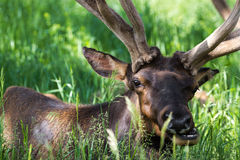 American elk Stock Photo
