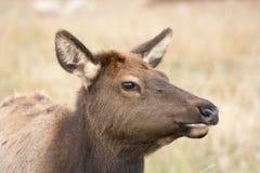 American elk cow Stock Photo
