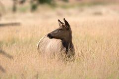American elk cow Stock Images