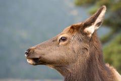 American elk cow Stock Image