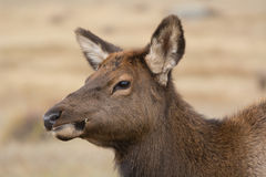 American elk cow Royalty Free Stock Photography