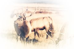 American Elks Faded to White Stock Images