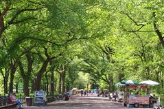 American elm trees in Central Park. A warm July summer day of 2016 in Central Park, NY with a green canopy of American elm trees royalty free stock image