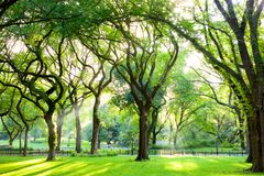 American Elms in Central Park stock photo