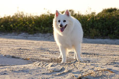 American eskimo dog. On beach stock images