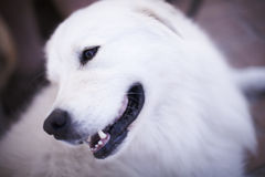American eskimo dog Stock Photo