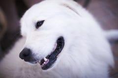 American eskimo dog. White face Stock Photo