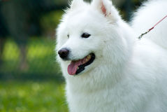 American Eskimo Dog royalty free stock photography