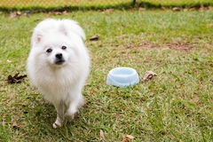 American Eskimo Dog. The American Eskimo Dog is a breed of companion dog originating in Germany. The American Eskimo is a member of the Spitz family royalty free stock image