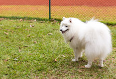 American Eskimo Dog. The American Eskimo Dog is a breed of companion dog originating in Germany. The American Eskimo is a member of the Spitz family stock photos
