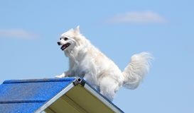 American Eskimo Dog at Dog Agility Trial. American Eskimo Dog Climbing Over an A-Frame at Dog Agility Trial stock photo
