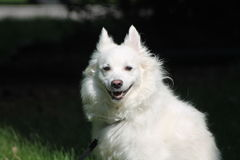 An American Eskimo Dog. An pure bread American Eskimo Dog Royalty Free Stock Image