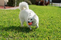 American Eskimo on grass. American Eskimo playing on grass with ball in its mouth on a warm sunny day royalty free stock photography