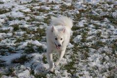 American Eskimo Plays in Snow Stock Photos