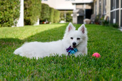 American Eskimo. Laying on grass with a pink ball sitting next to dog royalty free stock photo