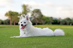 American Eskimo puppy. American Eskimo dog laying on grass with ears up, mouth open and tongue out. Shallow depth of field stock images