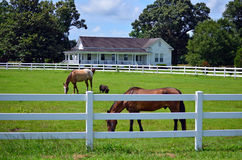 American Farm House Horse Pig Picket Fence. American farm house surrounded by a white picket fence with horses and a pop belly pig grazing in the grassy green Stock Image