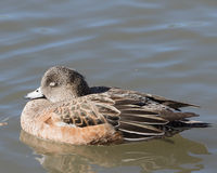 American Female Wigeon in Socorro New Mexico Stock Photography